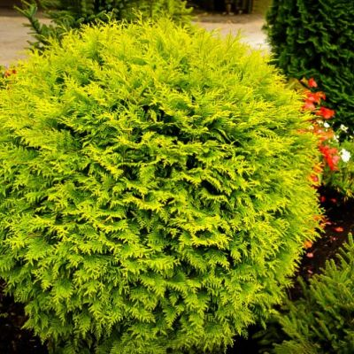 Thuja Occidentalis Golden Ball