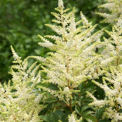 Astilbe Washington - Astilba