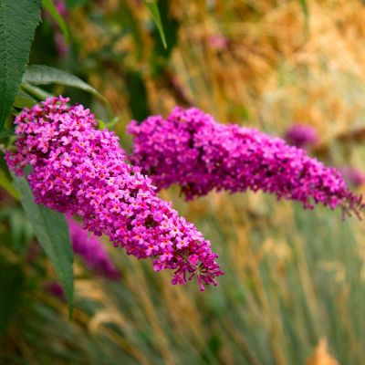 Buddleja Davidii Royal Red - Letnji Jorgovan