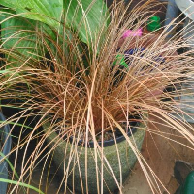 Carex Comans Bronze Form - Ukrasna Trava