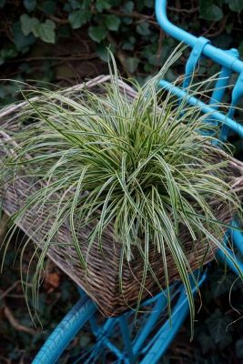 Carex Oshimensis Evercream - Ukrasna Trava