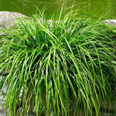 Carex Oshimensis Evergreen - Ukrasna Trava