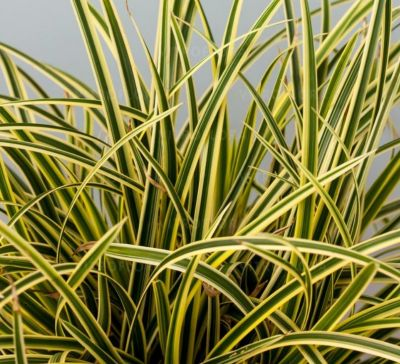 Carex Morrowii Vanilla Ice - Ukrasna Trava