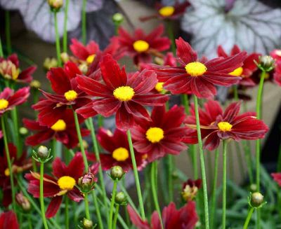 Coreopsis Li'l Bang Red Elf - Korepsis
