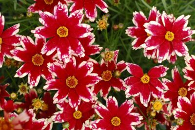 Coreopsis Ruby Frost - Koreopsis