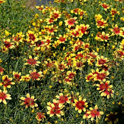 Coreopsis Sunstar  Gold - Koreopsis