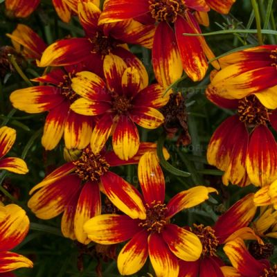 Coreopsis Sunstar Orange - Koreopsis
