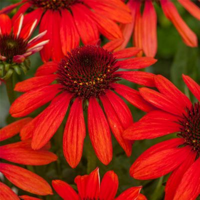 Echinacea Fountain Red Pearl - Ehinacea