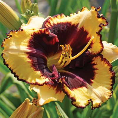 Hemerocallis Spacecoast Behaviour Pattern - Hemerokalis Dnevni Ljiljan