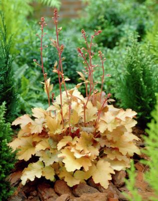 Heuchera Amber Waves - Heuhera