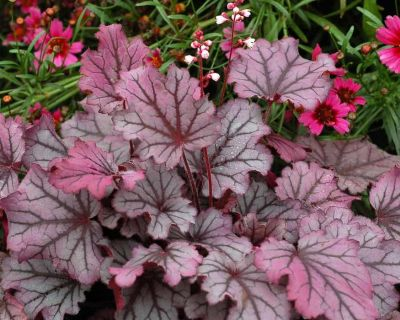 Heuchera Little Cutie Sugar Berry - Heuhera