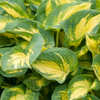Hosta Great Expectations - Hosta