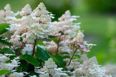 Hydrangea Paniculata Early Harry - Drvenasta Hortenzija
