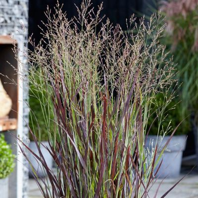 Panicum Virgatum Purple Breeze - Ukrasna Trava