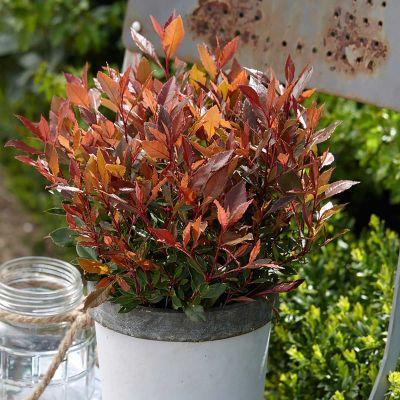Photinia Fraseri Chico - Mini Fotinija