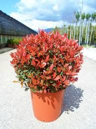 Photinia Fraseri Little Red Robin - Fotinija Mali Red Robin