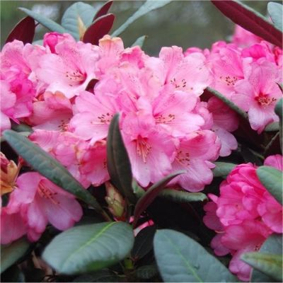Rhododendron Wine&Roses - Rododendron
