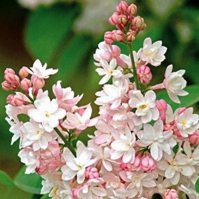 Syringa Vulgaris Beauty Of Moscow - Jorgovan